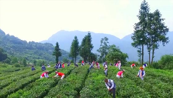 桑植白茶—《农事通》266期